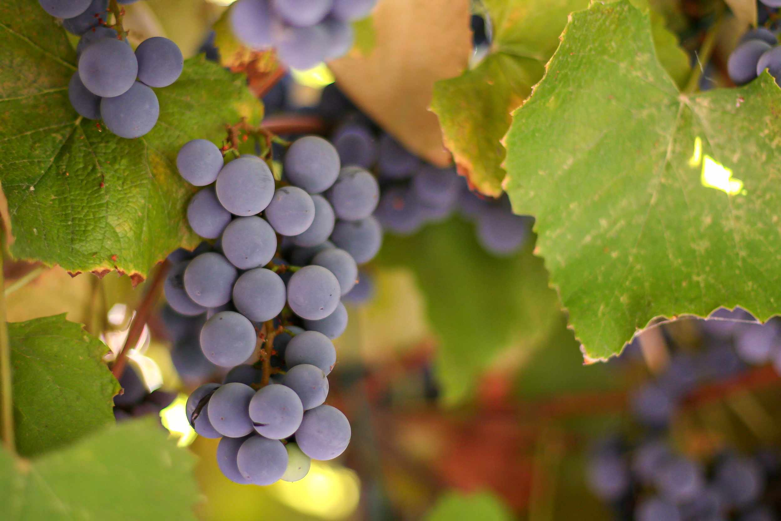 How to make grape juice with grapes on a vine.