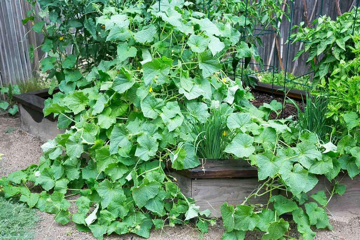 Cucumber plant in garden