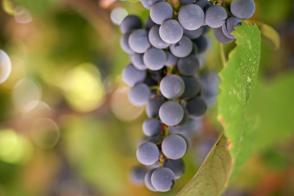 Concord grapes hanging from grapevine