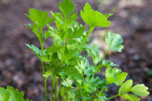 garden-parsley-b.jpg