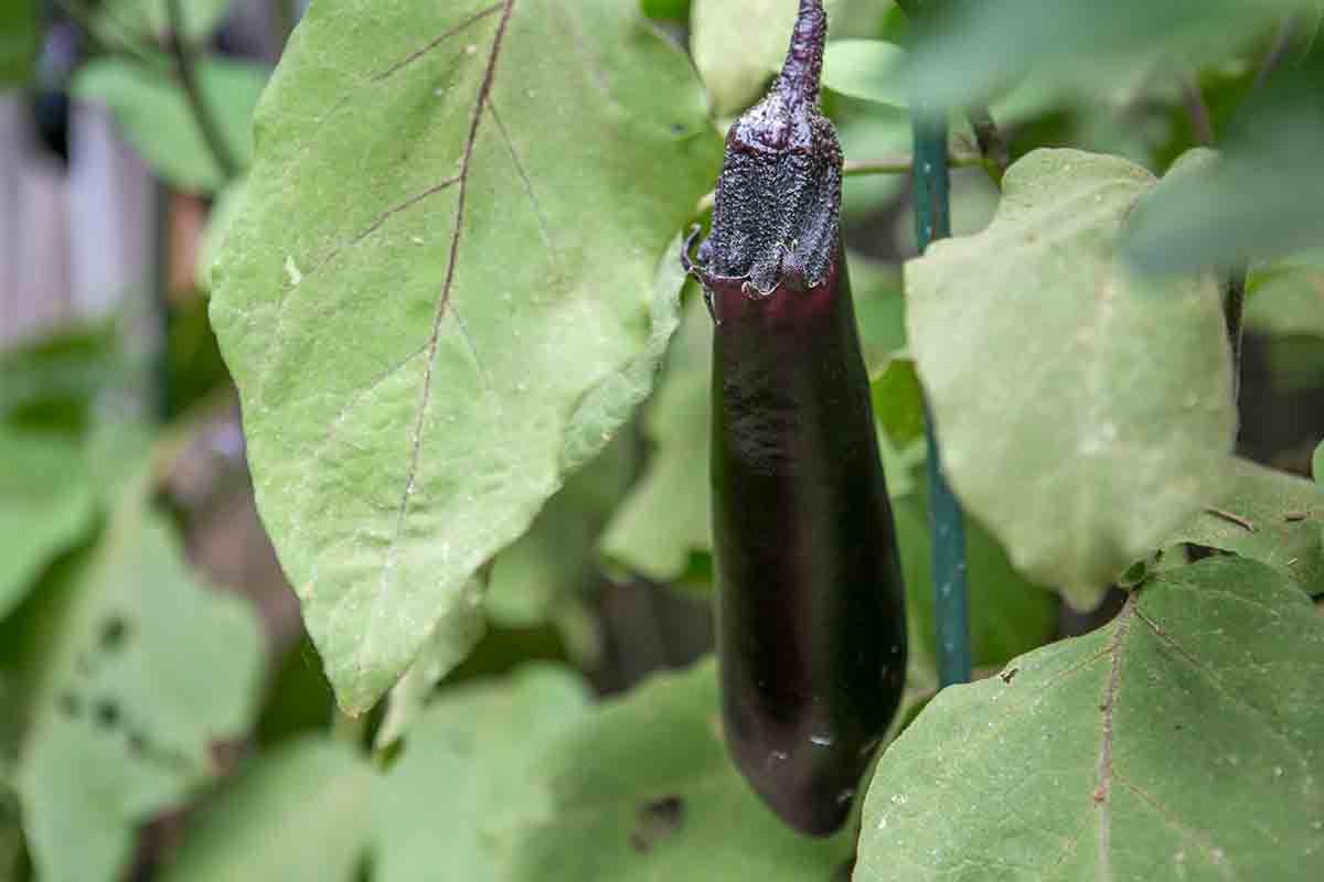 Japanese Eggplant in Garden