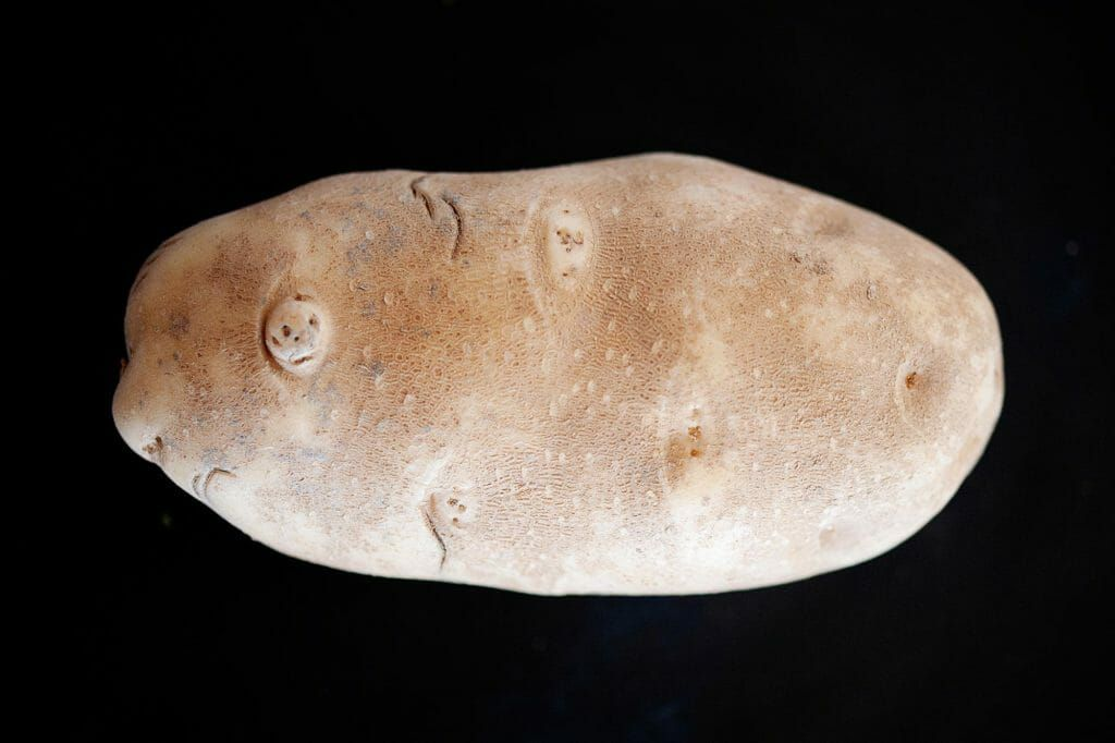 A russett potato on a black background.