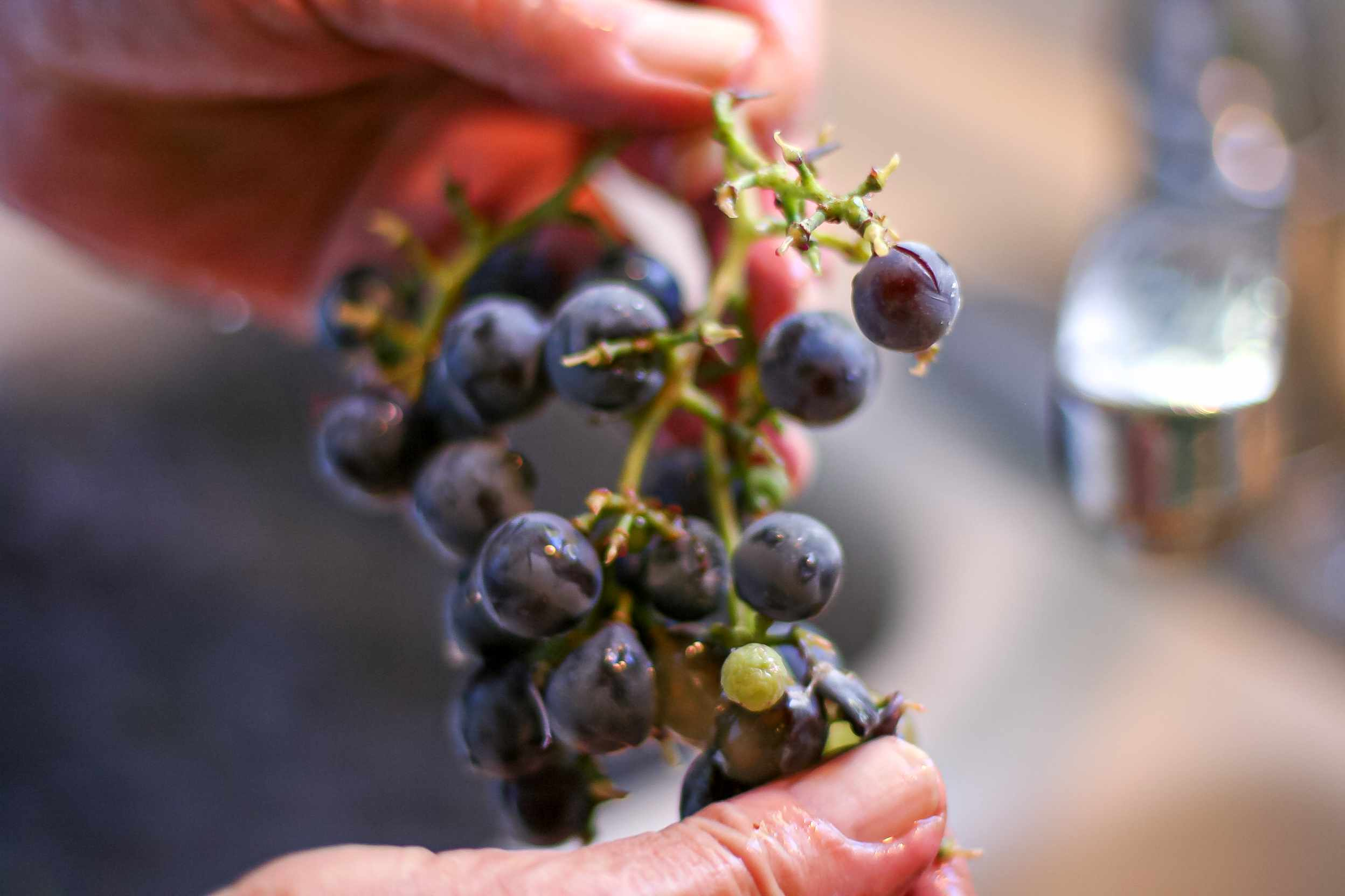 A person holding concord grapes.