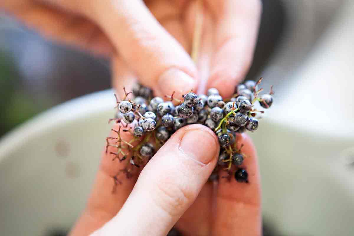elderberry-jelly-method-1