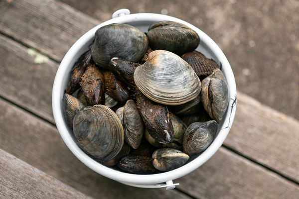 Live clams fill a bucket during clam season: here's everything you need to know.