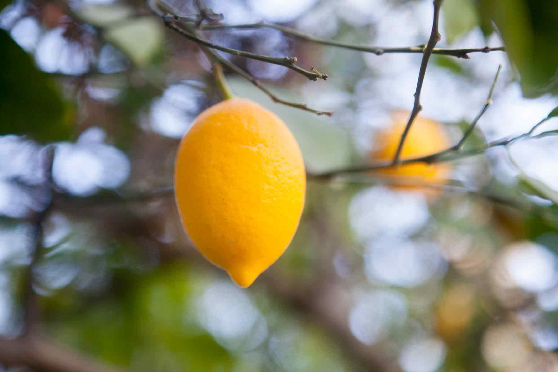 Meyer Lemon on tree