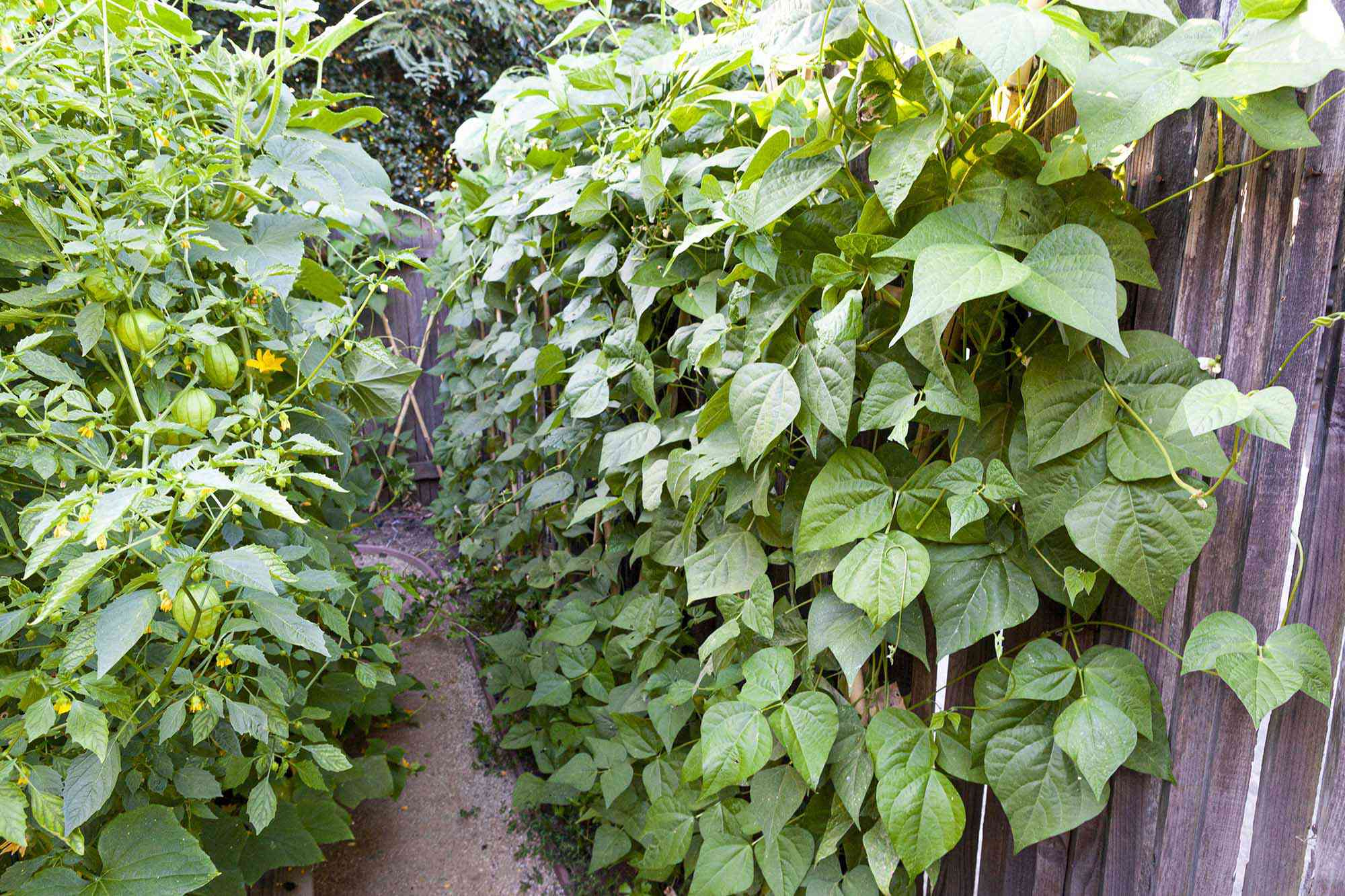 A garden of green beans ready to harvest