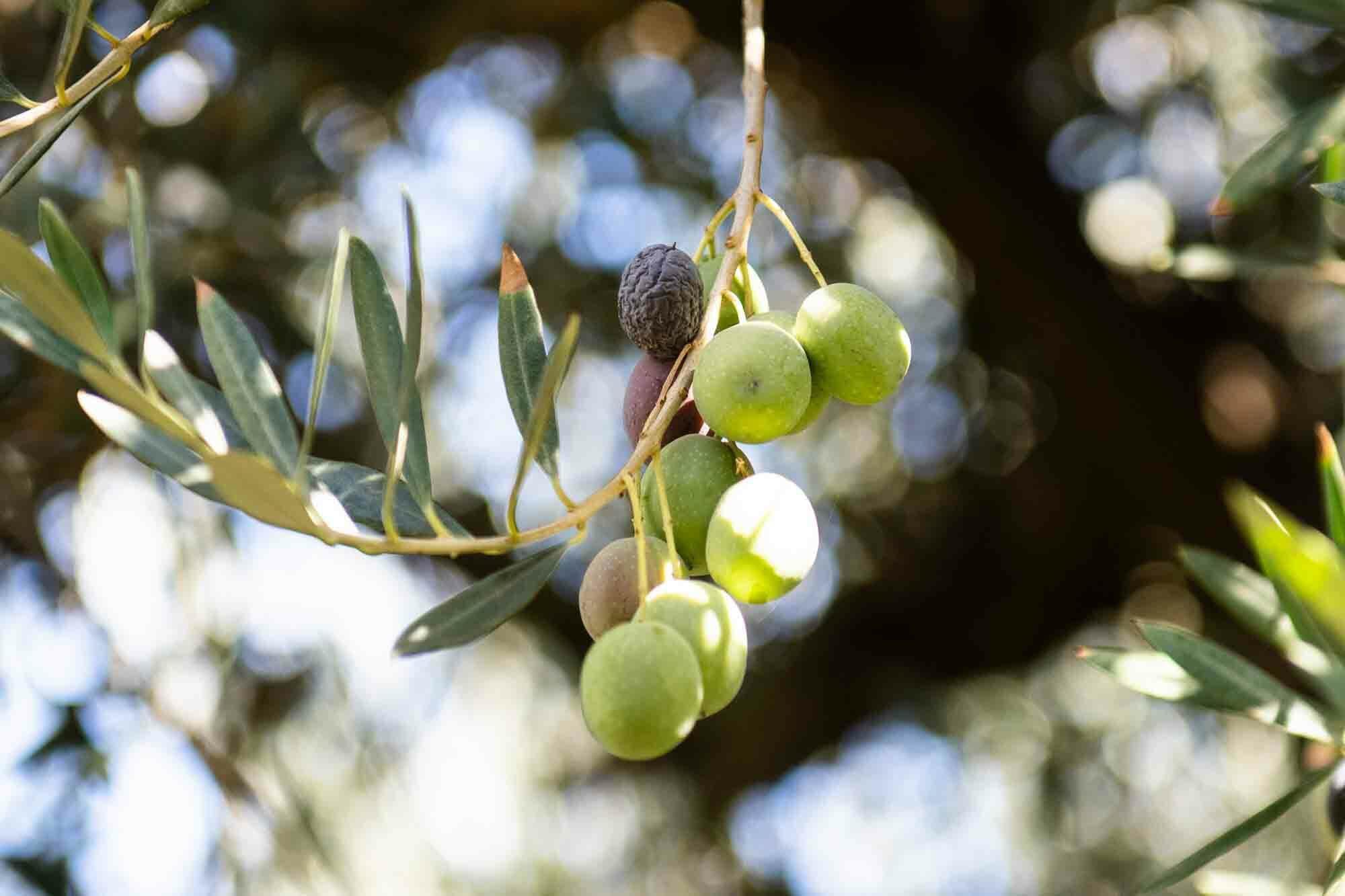 California ripe olives on the tree