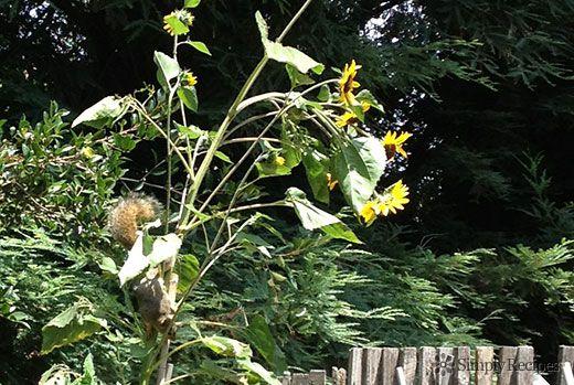 Squirrel on Sunflower Plant
