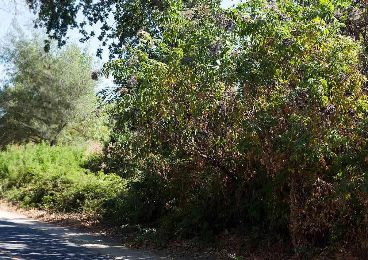 Elderberry bush